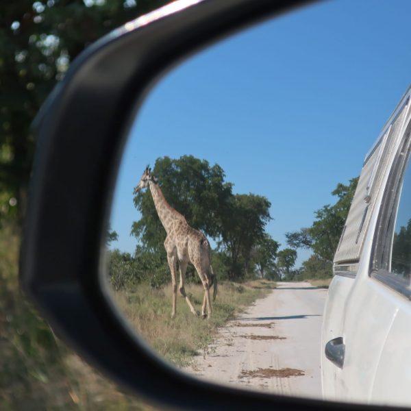 Giraffe im Rückspiegel